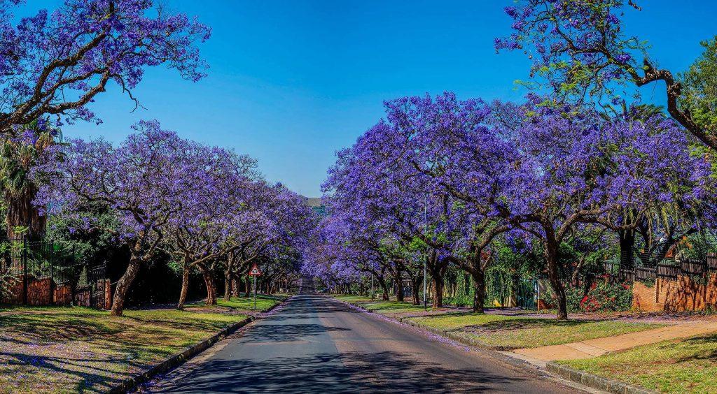 Jacaranda_Trees,
