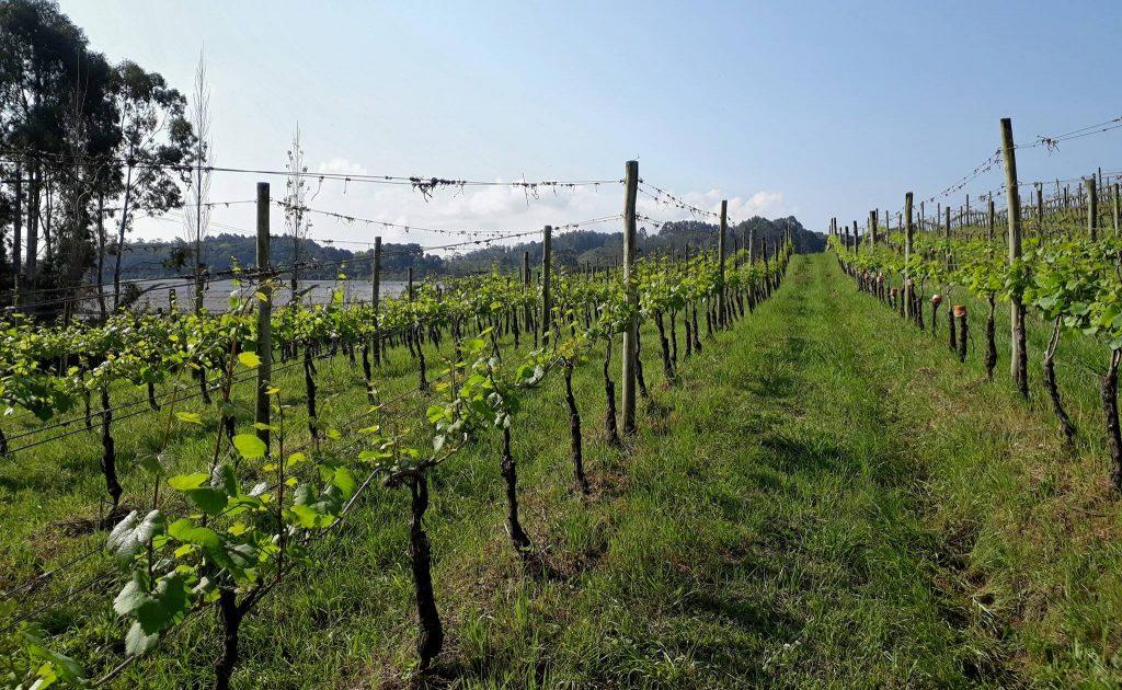 The lush green vineyards of Ravanello. Photo: Ravanello Facebook.