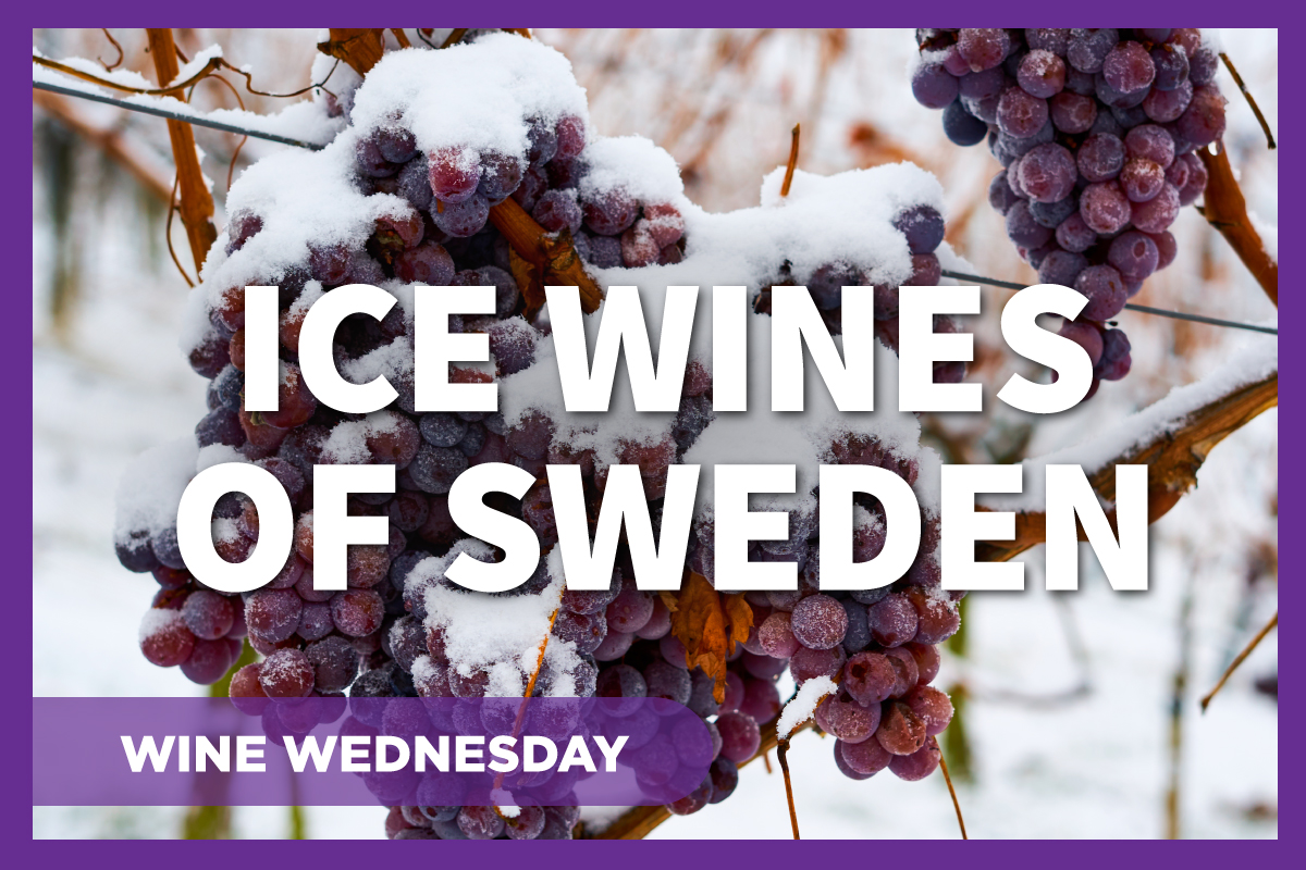 Frozen grapes on the vine will be turned into Swedish ice wine.