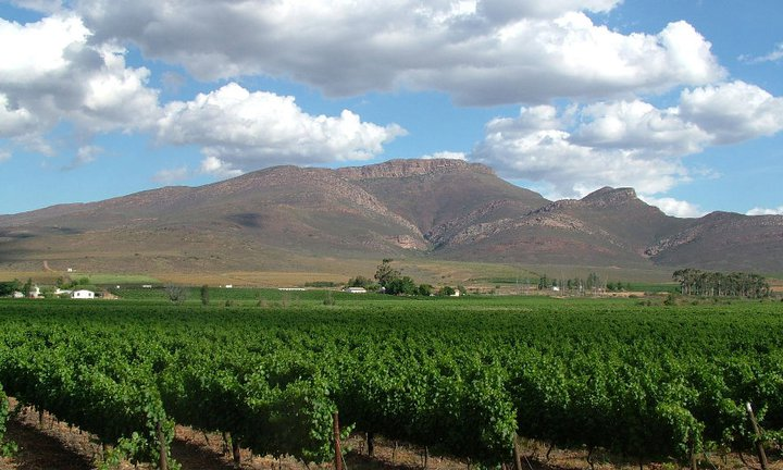 Rows of grapevines stretch into the distance at New Cape in the Winelands