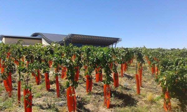 Vines at Bodega Patritti