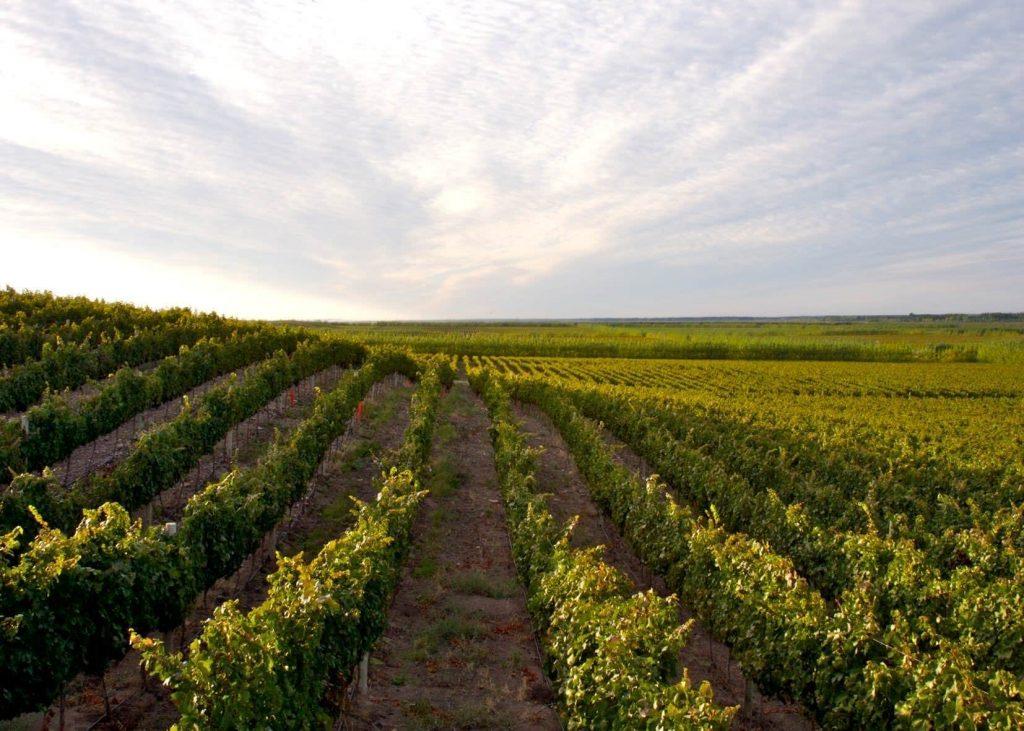 Vines of Bodego Del Fin del Mundo