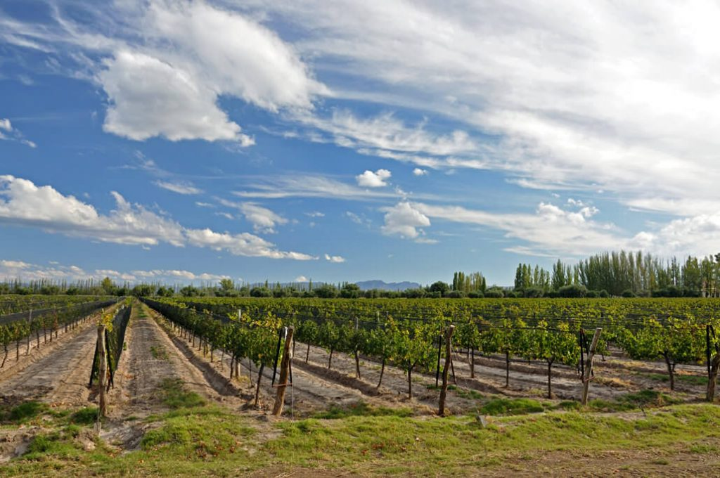 vineyards of Casa Bianchi