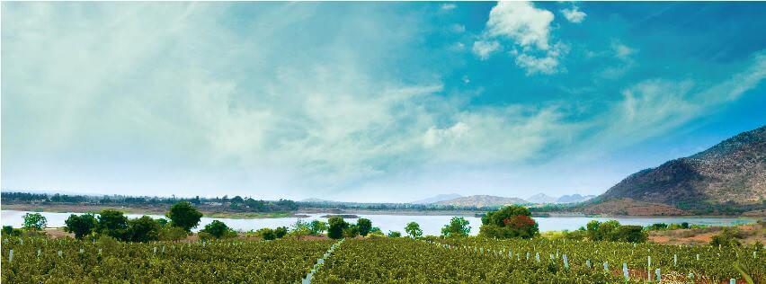 Green fields of Grover Zampa Winery - Nashik, India
