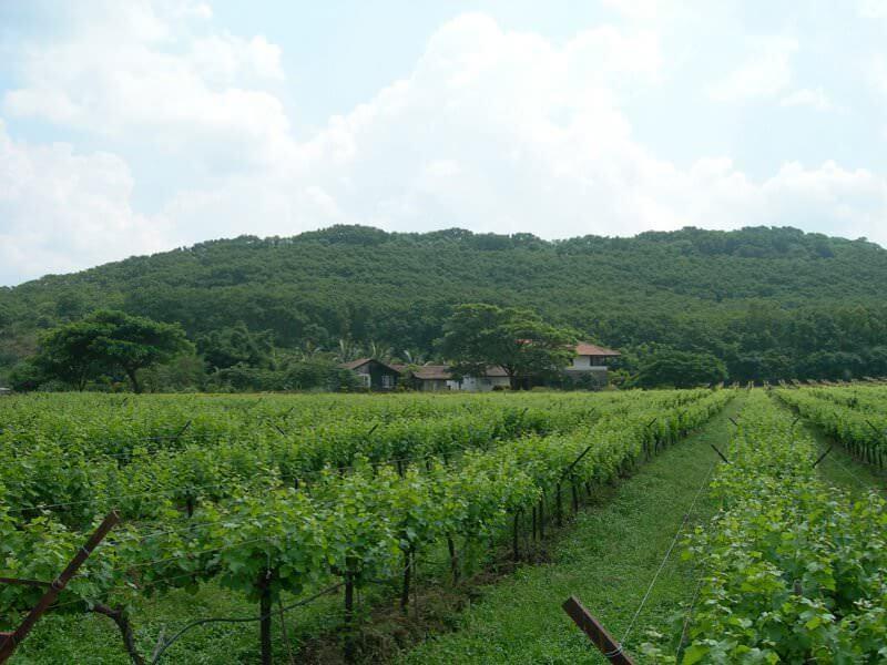 Lush greenery of Sula Vineyards - Nashik, India
