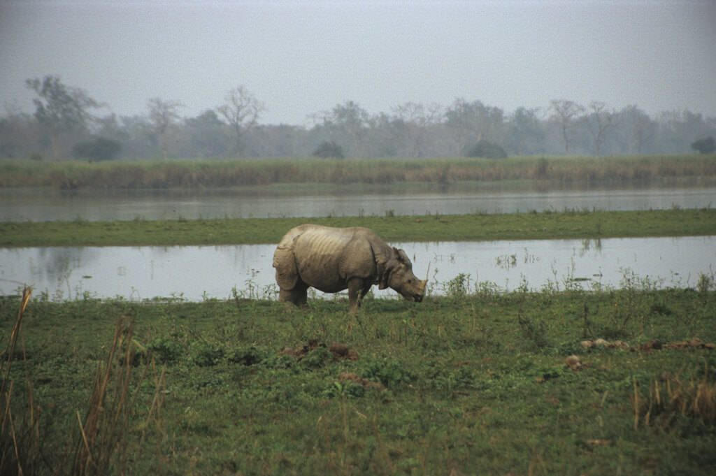 An Indian one-horn rhino