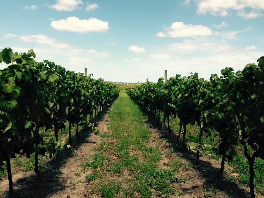 The vineyards of De Lucca Winery in Canelones, Uruguay.
