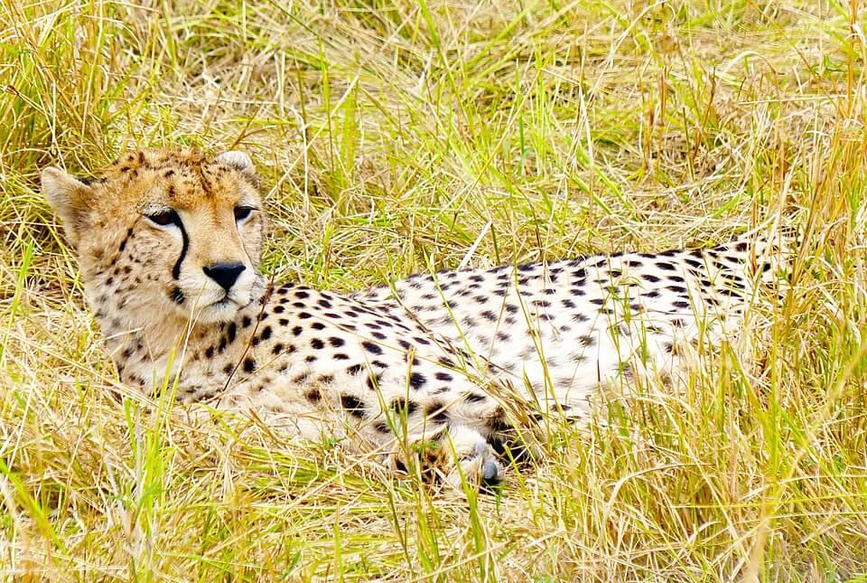 Cheetah near the luxury resort of Mara Plains Camp