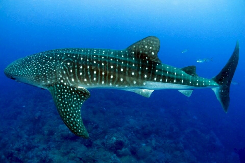 Whale shark near Atmosphere Resort & Spa