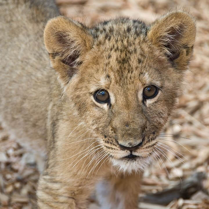 Voluntourism in South Africa helping big cats