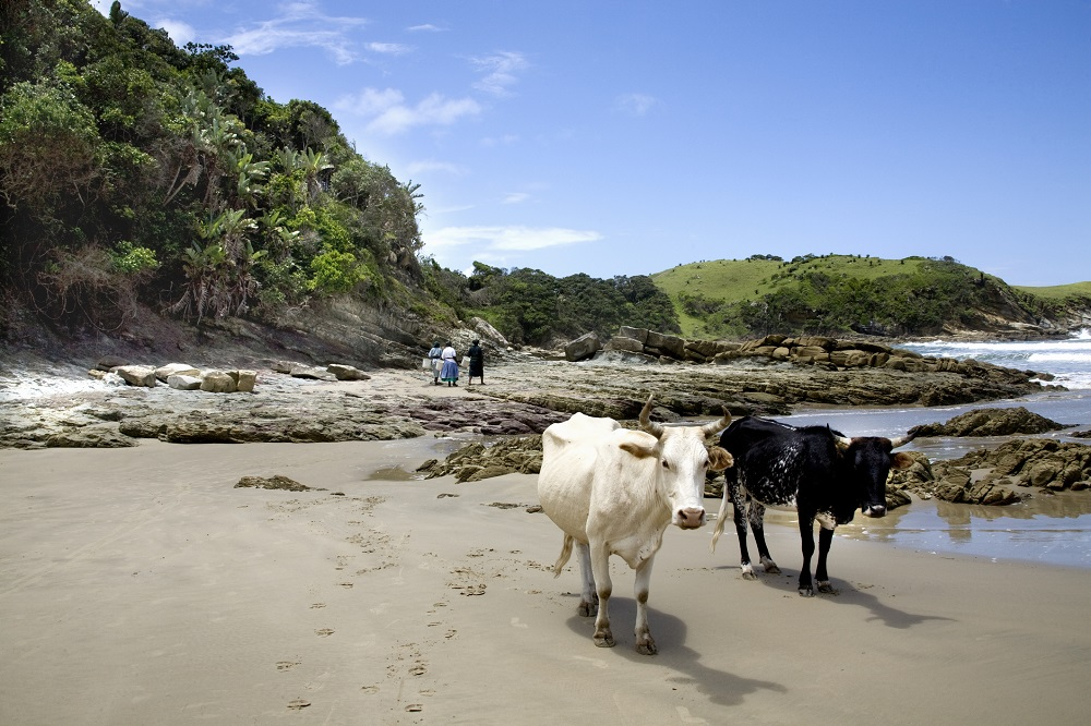 cows-on-the-beach-lubanzi